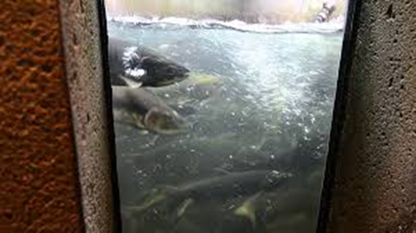 salmon hatchery 3